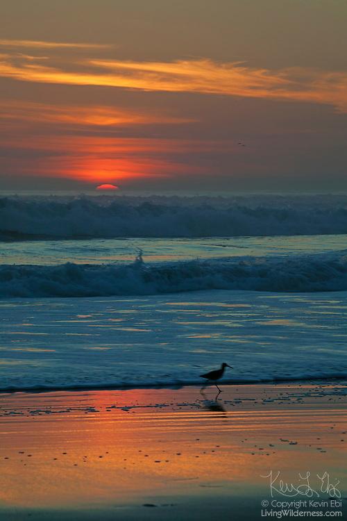 A shorebird runs along the beach near Santa Cruz, California as the sun sets over the Pacific Ocean.