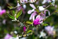 A budding Star Magnolia (Magnolia stellata) in British Columbia, Canada.