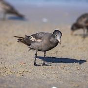 Seagulls search for food along the shoreline of Zuma beach in Malibu, California.