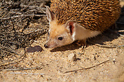 The long-eared hedgehog (Hemiechinus auritus) is a species of hedgehog native to Central Asian countries and some countries of the Middle East. The long-eared hedgehog lives in burrows that it either makes or finds and is distinguished by its long ears. It is considered one of the smallest Middle Eastern hedgehogs. This hedgehog is insectivorous but may also feed on small vertebrates and plants. Photographed in Israel