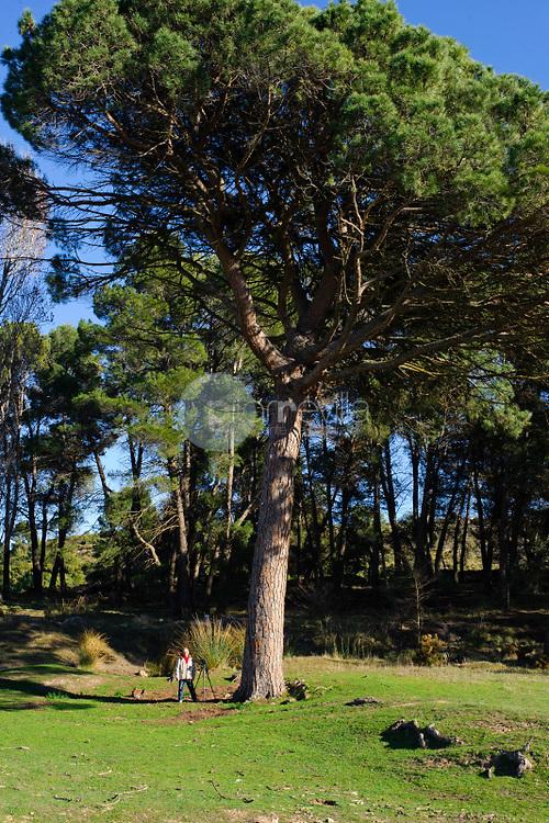 Pino piñonero centenario (Pinus pinea). Paraje de Casa de Alcoy. Almansa. Albacete ©Antonio Real Hurtado / PILAR REVILLA