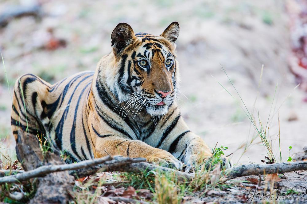 Bengal tiger (Panthera tigris tigris) resting on a hot day