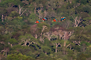 A group of Scarlet Macaws (Ara macao) flying over the Amazon canopy in Brazil.