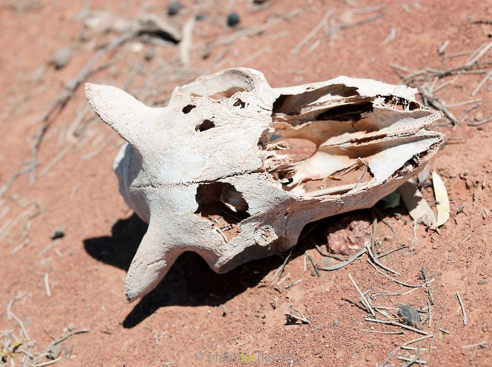 Animal skull in the Gawler Ranges National Park, South Australia, Australia