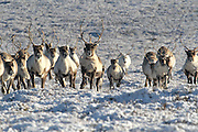 The Cairngorm Reindeer Herd is Britain's only herd of reindeer, found free ranging in the Cairngorm mountains in Scotland. These tame and friendly animals are a joy to all who come and see them. <br /> <br /> Our tame, tractable reindeer pull sleighs and during the months of November and December teams of reindeer go out and about nationwide pulling sleighs for big Christmas parades. We also do promotional events and work in film studios<br /> <br /> *Cairngorm are available for interview<br /> ©Cairngorm/Exclusivepix