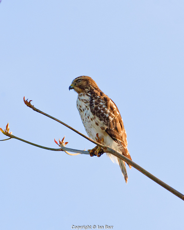 Broad winged Hawk,perched in a tree, in S.Florida.
