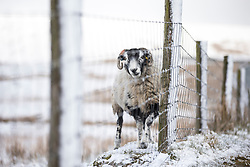 © Licensed to London News Pictures. 16/04/2016. Ribblehead UK. Sheep begin to blend into their surroundings in the Yorkshire Dales on the snow covered hills around Whernside Mountain. Photo credit: Andrew McCaren/LNP