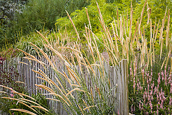 Pennisetum macrourum growing through fence at Marchants Plants. Design: Graham Gough