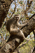 A young male vervet monkey (Chlorocebus pygerythrus) in a tree limb in Matobo National Park, part of the Motopos Hills area in Zimbabwe. The park is an U.N. UNESCO World Hertiage Site. © Michael Durham / www.DurmPhoto.com