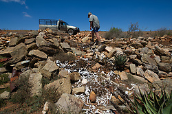 Cape Town - 190208 -  Farmer Jasper van der Westhuizen at a site on his farm where he dumps all the dead sheep. As a result of the ongoing drought 64 sheep died in Mossel Bay Vlakte area in the last 7 days. Farmers are desperate for rain. Many farmers in this area say its the longest drought in recorded history. Picture: Henk Kruger/African News Agency<br /> (ANA)