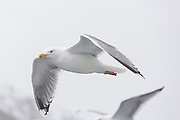 Herring gull in Trollfjord, in the Lofoten Islands of Norway.