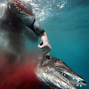 """Kenneth Kelly """"brains"""" a barracuda after spearing it while freediving and spearfishing off the coast of North Carolina. Often after a fish is shot and captured, the hunter will stab it in the head to make sure the animal is dead. """"Blood in the Water - Brained"""""""
