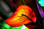 Backlit red canna leaf with converging lines abstract design of veins
