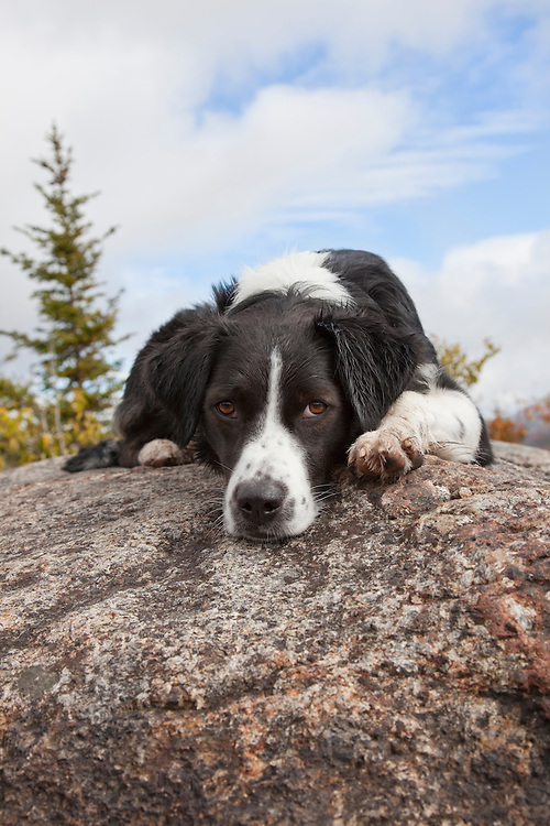Australian Shepherd laying down on a rock