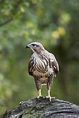Photographing Wildlife - Buzzards