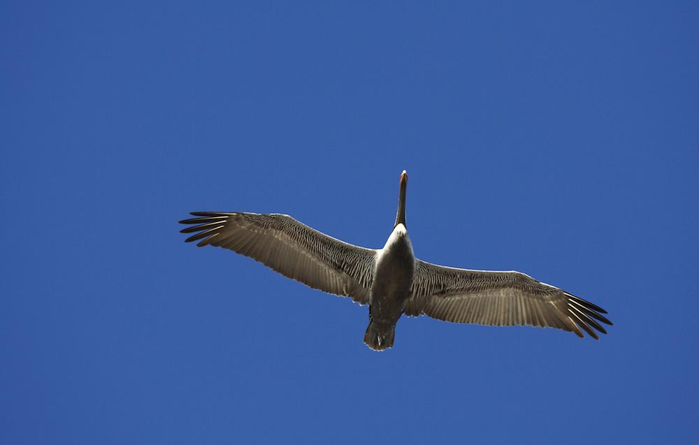 Pelican In Flight, St. Joseph Peninsula State Park, Gulf County, FL