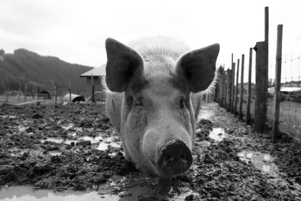Doris the pig. Black Sheep Farmed Animal Sanctuary, near Wellington, New Zealand. Pigs are intelligent and inquisitive animals