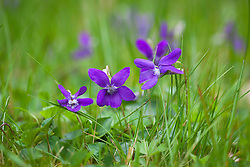Common Dog Violet growing in grass. Viola riviniana