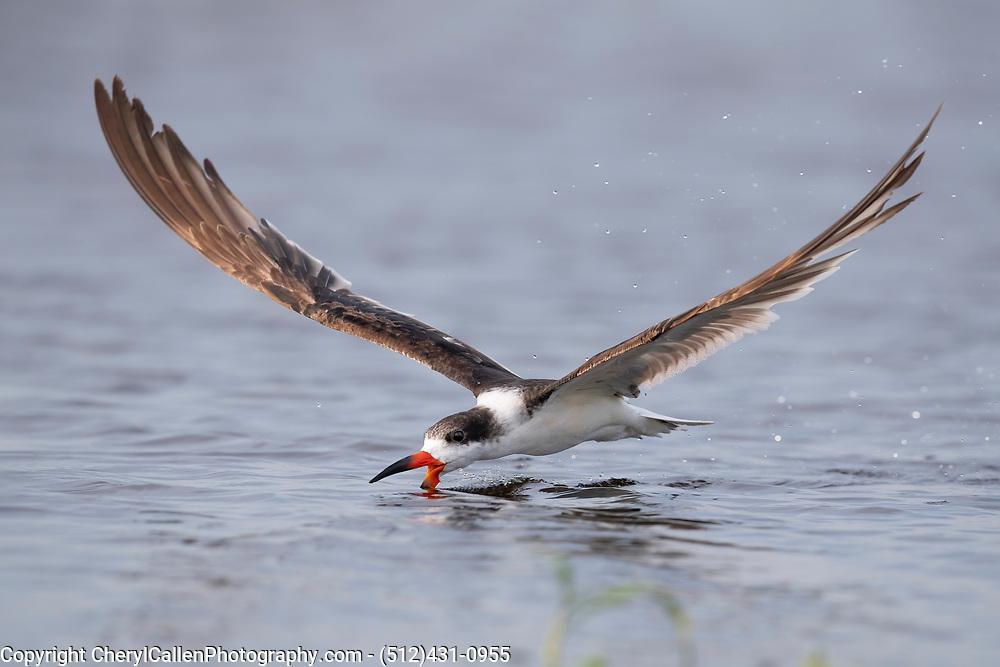 Black Skimmer skimming with water splash