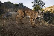Iberian Lynx Male