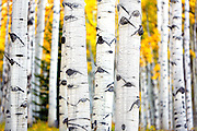 SHOT 9/28/12 6:37:54 PM - The trunks of aspen trees as they change colors along Kebler Pass just outside of Crested Butte, Co. Populus tremuloides, the Quaking Aspen or Trembling Aspen, is a deciduous tree native to cooler areas of North America and is generally found at 5,000-12,000 feet. The name references the quaking or trembling of the leaves that occurs in even a slight breeze due to the flattened petioles. It propagates itself by both seed and root sprouts, and extensive clonal colonies are common. Each colony is its own clone, and all trees in the clone have identical characteristics and share a root structure. (Photo by Marc Piscotty / © 2012)