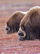 Alaska. Muskox (Ovibos moschatus) bulls eating tundra plants during the autumn breeding season on the Seward Peninsula, outside of Nome.