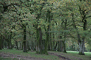 Moss covered trees near Machynlleth in Wales, United Kingdom.