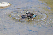 Common Grackle splashes down into he water of a small stream in Ithaca, NY.