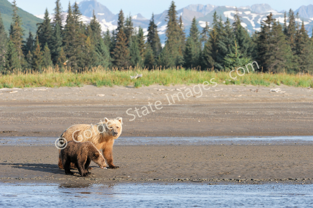 Female or sow with cub on the beach.   <br /> <br /> Brown Bears and Grizzly Bears are the same species. In general Bears living within 50 miles of the coast are considered browns. Animals living further inland are considered Grizzlies.  <br /> <br /> Grizzlies are omnivores feeding on a variety of plants berries roots and grasses in addition to fish insects and small mammals. Salmon are a key part of their diet. Normally a solitary animal they will congregate along streams and rivers during Salmon runs. Weight to over 1200 pounds.    <br />  <br /> Range: Native to Asia Africa Europe and North America. Now extinct in much of their original range.    <br />   <br /> Species: Ursus arctos