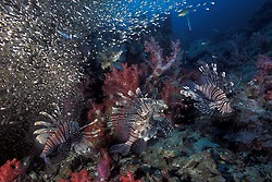 A squadron of Indian Lionfish, Pterois muricata, team up to herd a school of baitfish into a compact mass, making them easier prey. Like all members of the scorpionfish family, lionfish are equipped with venomous fin rays, used for self-defense. Richelieu Rock, Thailand, Andaman Sea