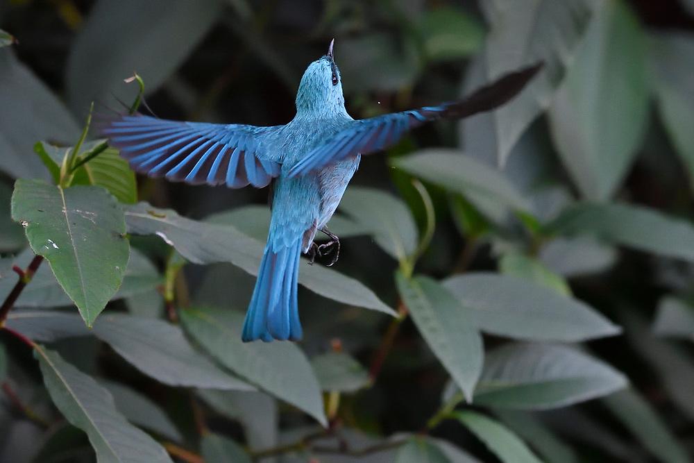 Verditer Flycatcher, Eumyias thalassinus, Gaoligongshan, Yunnan, China