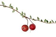 Cranberry - Vaccinium oxycoccus