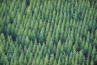Spruce plantation, Picea abies, Uppland, Sweden