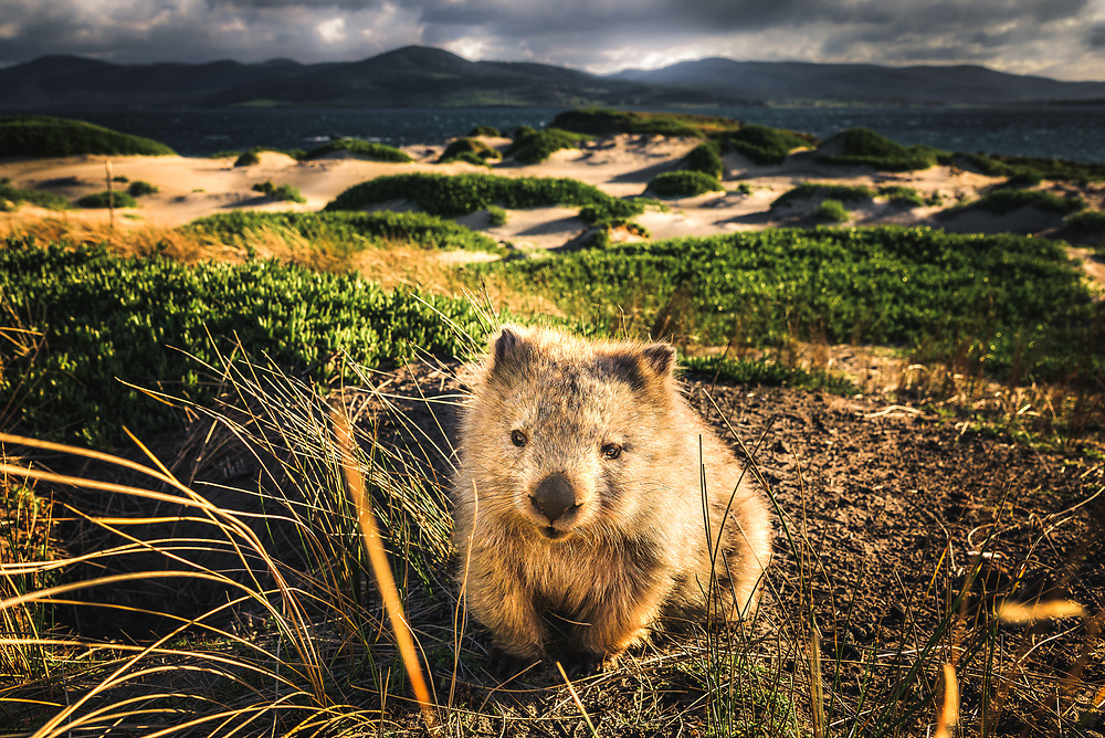 Wombats are so cute, it just hard to handle sometimes. After spending 4 days in there company on Maria Island, it was hard to leave without hiding one of them in my backpack :)