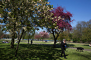 Dog walkers enjoying the pink cherry blossom on trees in Regents Park in London, UK. Due to sunny days and cold nights, the season for the flowering trees has been extended longer than is usual.