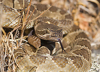"""Northern Pacific rattlesnake, Crotalus viridis oreganus, in a defensive posture, flicks out its tongue to """"taste"""" the air with its Jacobson's organ. The snake's heat-sensing pit is visible below and in front of the eye. Mount Diablo State Park, California"""