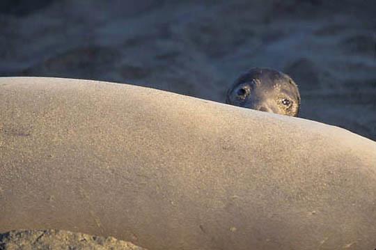 Northern Elephant Seal, (Mirounga angustirostris)  Newborn pup peeks over mother. California.