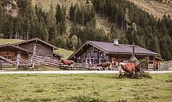 THEMENBILD - Kühe auf einer Bergwiese vor der Palfner Alm, aufgenommen am 09. Spetember 2018 in Rauris, Österreich // Cows on a mountain meadow in front of the Palfneralm, Austria on 2018/09/09. EXPA Pictures © 2018, PhotoCredit: EXPA/ JFK