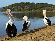 Three Australian Pelicans preen on Coalmine Beach, Walpole-Nornalup National Park, in southern Western Australia. The Australian Pelican (Pelecanus conspicillatus), also known as the Goolayyalibee, is widespread on the inland and coastal waters of Australia and New Guinea. Compared to other pelican species, they are medium-sized: 1.6 to 1.8 m (5.25 to 6 ft) long with a wingspan of 2.3 to 2.5 m (7.6 to 8.25 ft) and weighing between 4 and almost 7 kg (9 to 15 lbs). They are predominantly white, with black and white wings and a pale, pinkish bill which, like that of all pelicans, is enormous, particularly in the male.