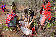 Noolkisaruni Tarakuai (center), the third of four wives of a Maasai chief, oversees the slaughter of her pregnant cow, which became critically bloated after it ingested plastic bags resulting in a 10 kilogram mass that obstructed it's digestive system   (Noolkisaruni Tarakuai is featured in the book What I Eat: Around the World in 80 Diets.)