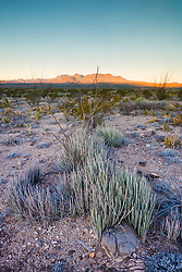 Candelilla (Euphorbia antisyphilitica) and mountains, Big Bend National Park, Texas, USA.