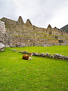 Llamas graze at the Incan ruins of Machu Picchu, near Aguas Calientes, Peru.