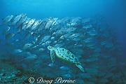 green sea turtle, Chelonia mydas, & bigeye jacks, Caranx sexfasciatus, Sipadan Island, Sabah, Borneo, Malaysia