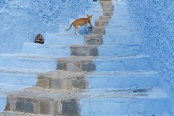 Cat on blue staircase, Chefchaouen, Morocco