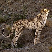 Africa, East Africa, Tanzania, Serengeti. A cheetah watches over the Serengeti Plain from a ridge.