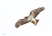 Red-tailed Hawk Circling