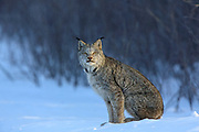 Adult Lynx (Lynx canadensis) hunting in winter habitat. Wild, non-captive, non-baited.