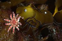 A kelp scene.Moere coastline, Norway