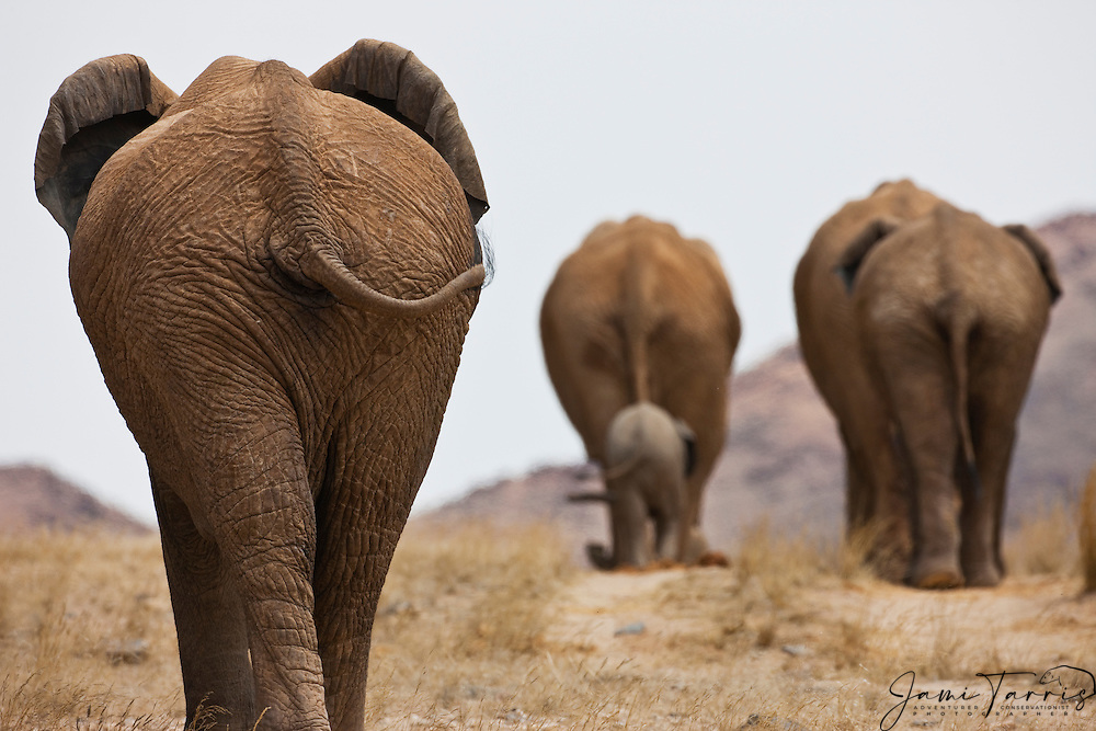 A breeding herd of desert-dwelling elephants (Loxodonta africana) from behind, walking away into the desert, Skeleton Coast, Namibia, Africa