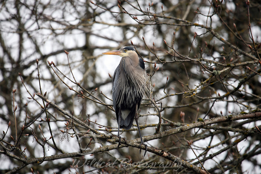 Great blue heron in camouflage